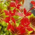 もみじ葉ゼラニウムの花