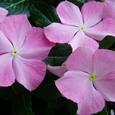日々草 夏桜